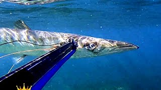 Pescasub: Barracuda War 02/05/2016 Giant Barracuda Spearfishing