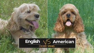 American Cocker Spaniel vs English Cocker Spaniel – Which one is a better dog breed for you?