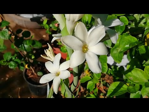 Rajnigandha (Tuberose) Flowers in Summers, How i got Flowers on Rajnigandha in Summers(Hindi)