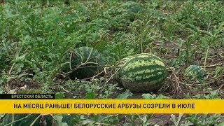 На месяц раньше: белорусские арбузы созрели в июле
