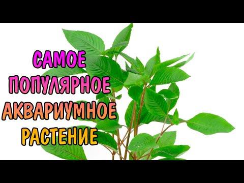 ГИГРОФИЛА ЛИМОННИК ( Hygrophila Corymbosa )