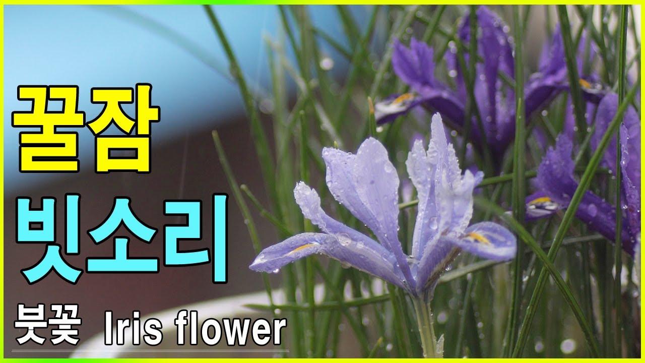 꿀잠 빗소리 자장가 - 아이리스 붓꽃 위로 비가 내린다.