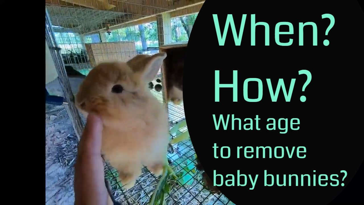 When and how to separate baby bunnies from mom