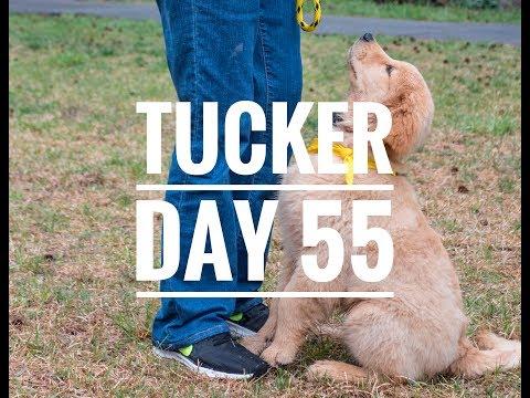 Golden Retriever Tucker: Day 55