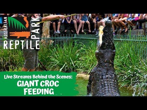 SALTWATER CROCODILE WATER JUMP FEEDING (LIVE FOOTAGE) | AUSTRALIAN REPTILE PARK