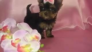 Мини девочка йоркширского терьера - Купить щенка в Москве