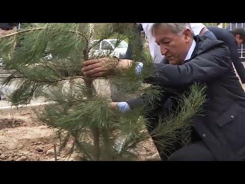 Сад памяти. Полсотни сосен высадили в Таджикистане