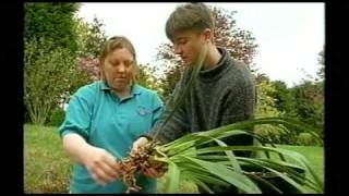 How to divide a Cymbidium