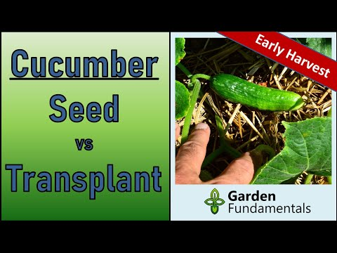 Growing Cucumbers ⌛️🎬🎵 Direct Sowing Vs Transplants