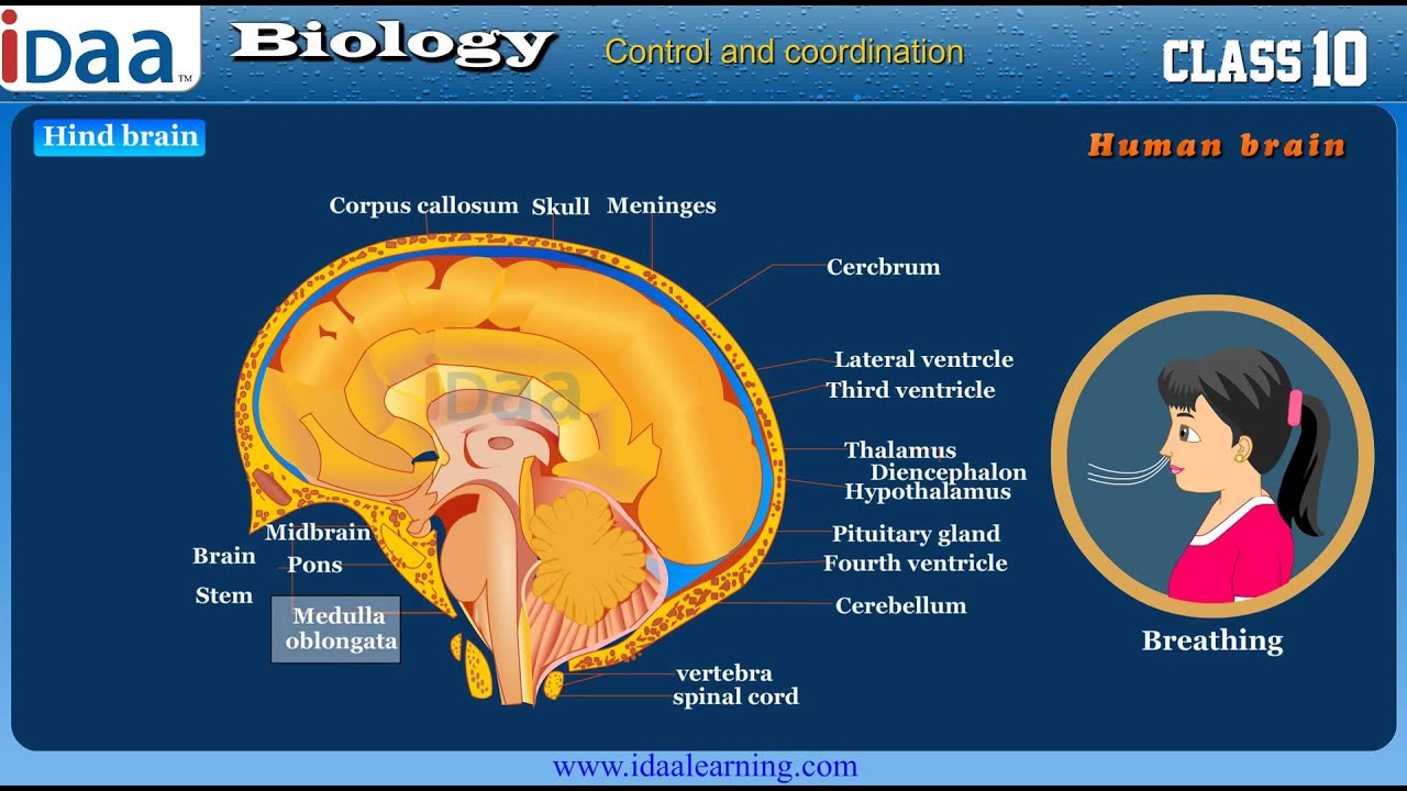 Parts of Human Brain and its Function - Biology, CBSE ...