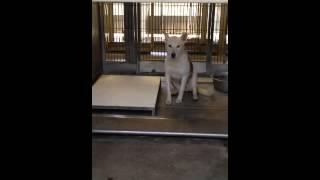 A538388 White/tan Australian Cattle Dog/siberian Husky Mix At Devore