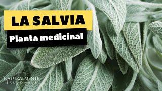 para que sirve la salvia y que es la salvia planta medicinal
