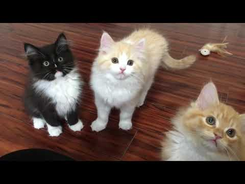 RagaMuffin Kittens-Vampire Diaries 11wk-Imperial Rags