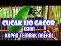 Cucak Ijo Super Gacor Isian Kapas Tembak Full Ngeroll Cocok Buat Masteran Aneka Burung Lomba  Mp3 - Mp4 Download