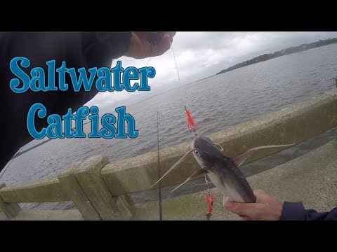 Video Saltwater catfish pictures