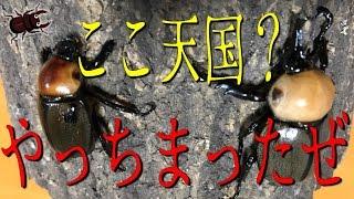 昆虫採集☆カブトムシ☆クワガタムシ やっちまった!ここ天国?】(くろね...