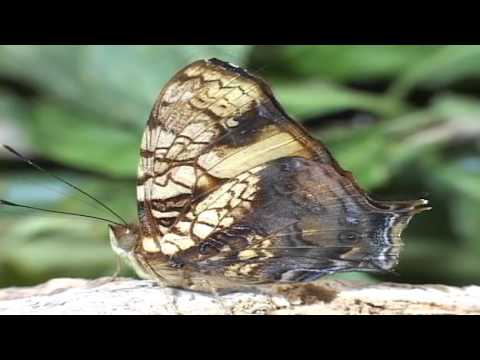 Winged Jewels of Costa Rica-An Educational Documentary on Butterflies