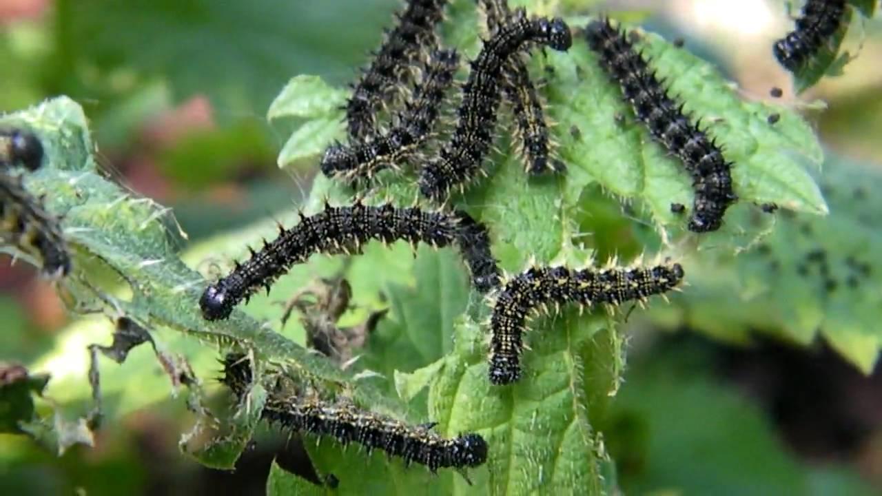 [HD] Small tortoiseshell larvae not Vanessa cardui larva ...