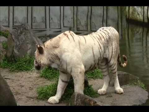 Taman Safari Indonesia (White Tiger) - Bogor - West Java - Indonesia Travel Guide (Tourism)