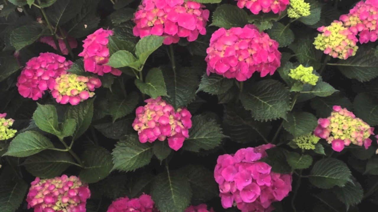 C mo cuidar hortensias youtube - Variedades de hortensias ...