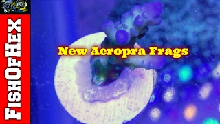 New Acropora Frags For The 300 Build & Red Bug Info/Treatment
