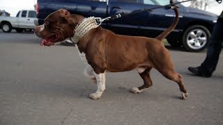 MR. CALIFORNIA: AMERICAN BULLY, BANDOG, OR XL PIT BULL?