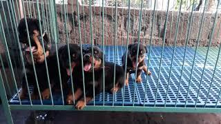 Rottweiler Puppies 53 days old
