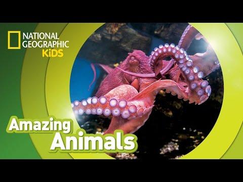 Giant Pacific Octopus 🐙  | AMAZING ANIMALS