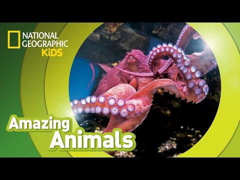 Giant Pacific Octopus  | Amazing Animals