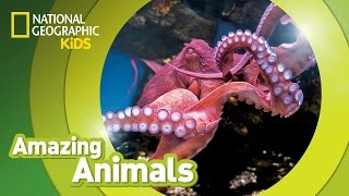 Giant Pacific Octopus 🐙 | Amazing Animals