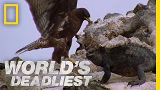 Hawk Attacks Iguana | World