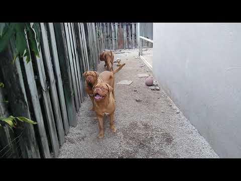 French Mastiff pack! Stout DDB