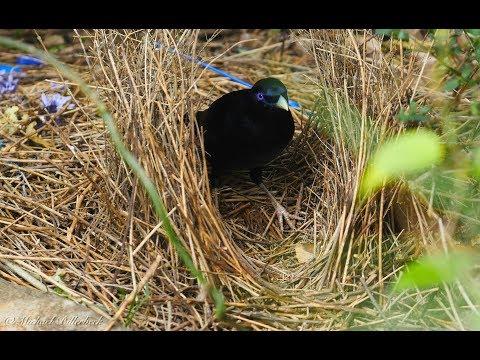 Satin Bowerbird (Ptilonorhynchus violaceus ♂) at his bower [6]
