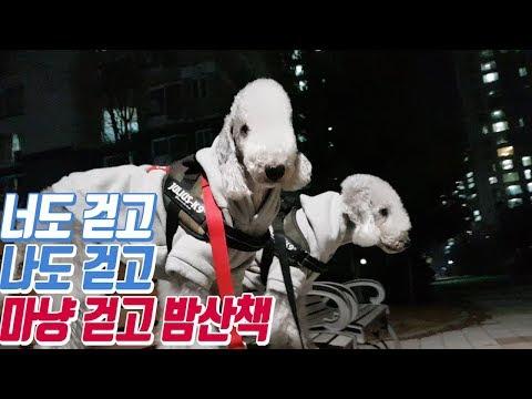 강아지 산책 마냥 걷는 영상/pet dog Bedlington Terrier puppy