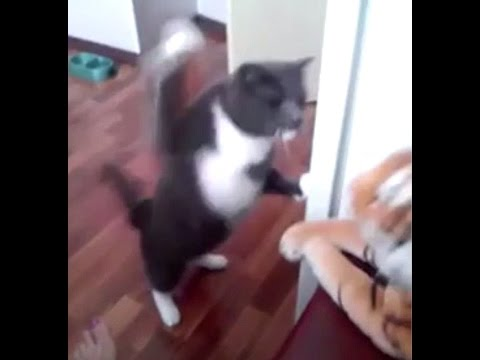 Funny Cat punching a toy tiger – HD