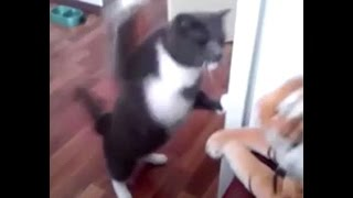 Funny Cat punching a toy tiger - HD