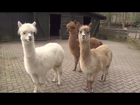 Im Tierpark Neumünster wohnen nun drei Alpakas