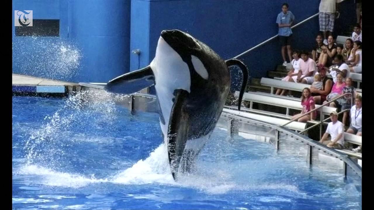 SeaWorld killer whale Tilikum dies