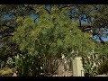 Small Native Trees | Tim Kiphart | Central Texas Gardener