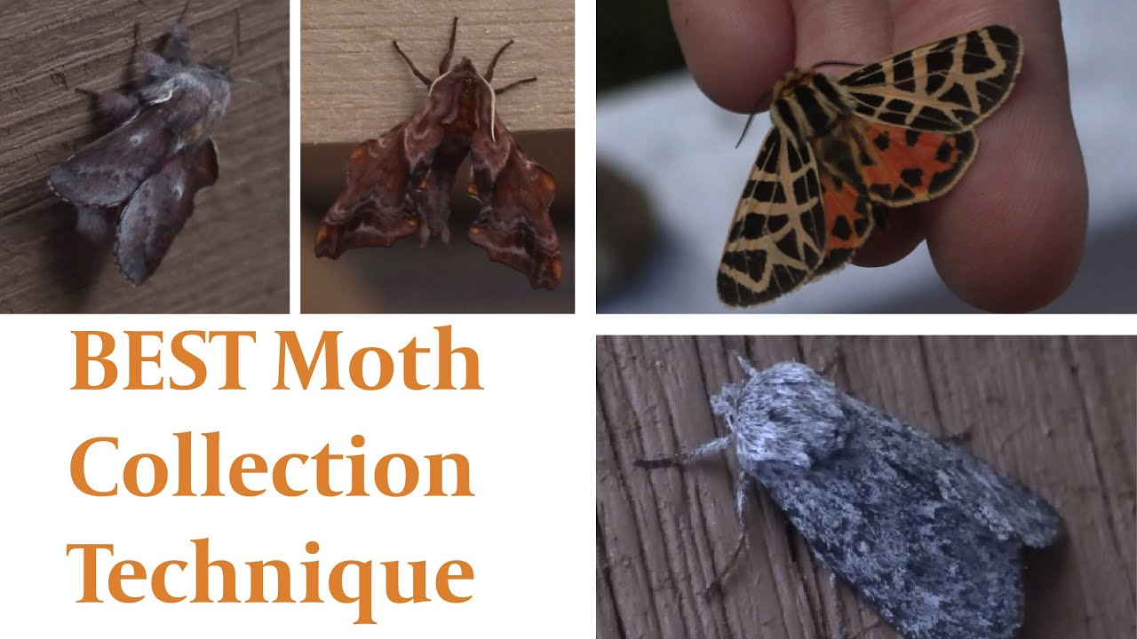 Ultimate Moth Collection Technique