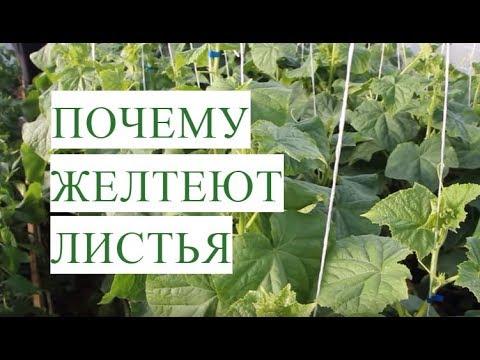 Желтеют Листья Огурцов.
