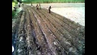 Sugarcane Farming in North India Village.