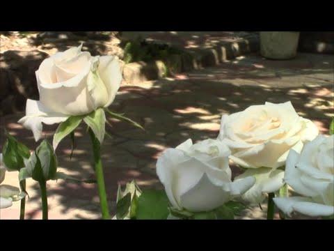 Мучнистая роса и чёрная пятнистость- убийцы роз!  Как я веду борьбу?  Экологический раствор!