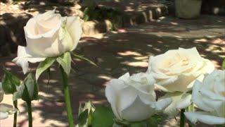 Чёрная пятнистость- убийца роз!  Как я веду борьбу?  Экологический раствор!