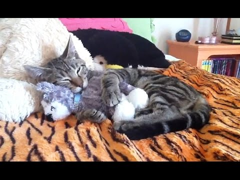 Cats Who Love Their Teddy Bears Compilation