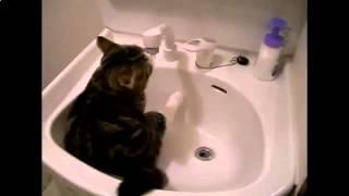 Очень смешные кошки. Кошка пьет воду в раковине!