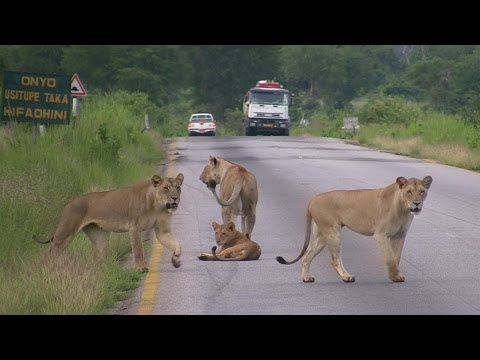 Pride of Lions Crossing the road - Mikumi National Park, Tanzania