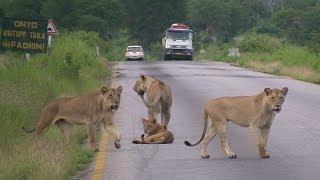 Pride of LIONS crossing the road - Mikumi National Park, Tanzania