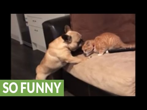 Confused dog thinks kitten is its puppy!