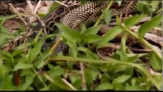 King snake vs. Burmese python.wmv